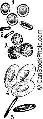 Células sanguíneas, grabados antiguos.
