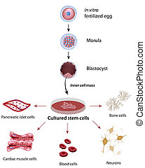 células, tallo