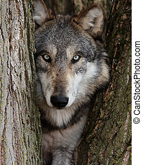 Caña de lobo gris lupus