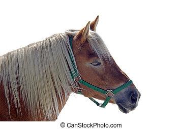caballo, avelignese