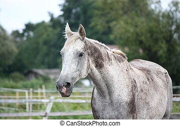 Caballo de latvia gris