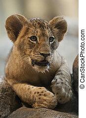Caballo de león