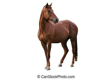 caballo marrón, aislado