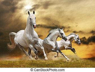 caballos, blanco