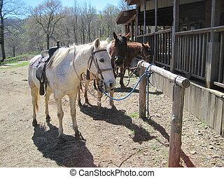 caballos, postes, atado, atar