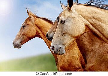 caballos, purebred, primer plano