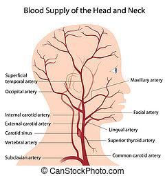cabeza, cuello, sangre, suministro