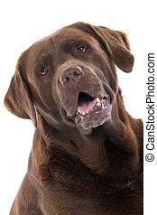 Cabeza de Labrador de Chocolate
