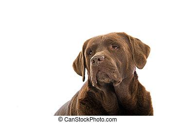 Cabeza de perro labrador de chocolate