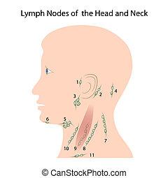 cabeza, nodos, eps10, cuello, linfa