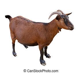 Cabra. Domesticado, color marrón.
