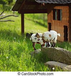 Cabra sobre hierba verde