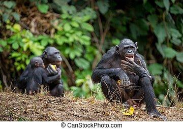 cacerola, pigmeo, chimpancé, (, formerly, llamado, paniscus), bonobo