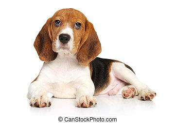 Cachorro Beagle en fondo blanco