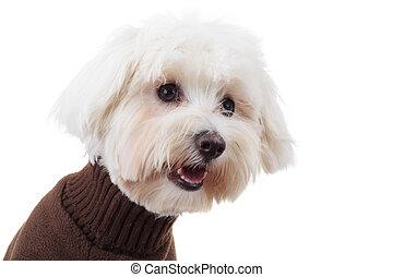 Cachorro bichón con la ropa parece estar de lado