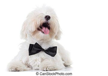 Cachorro bichon con la boca abierta y la lengua expuesta mira hacia arriba