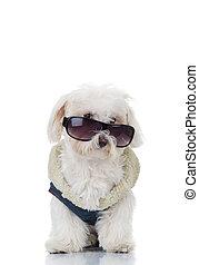 Cachorro bichon con ropa azul y gafas de sol