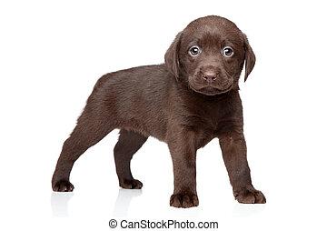 Cachorro labrador de chocolate