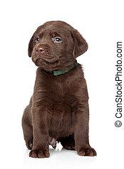 Cachorro labrador marrón de fondo blanco