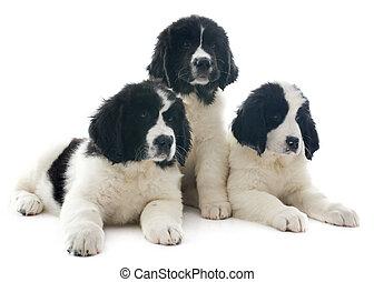 Cachorros Landseer