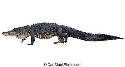caimán, norteamericano, grande