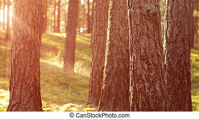 Calor atardecer de verano en el bosque de pino