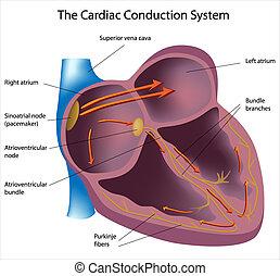 Caminos eléctricos del corazón