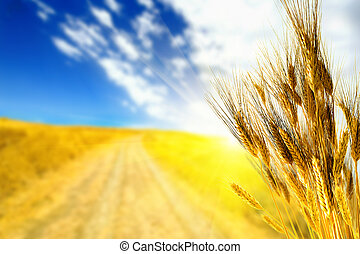 Campo amarillo de trigo