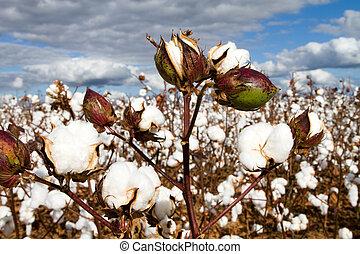 campo, bolls, algodón