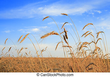 Campo Cereal