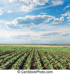 Campo con girasoles verdes bajo el cielo nublado
