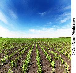 Campo con maíz