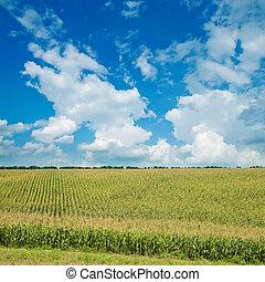 Campo con maíz verde bajo el cielo nublado