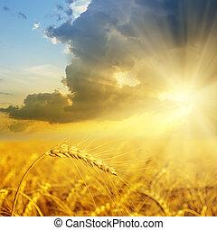 Campo con orejas de oro de trigo al atardecer