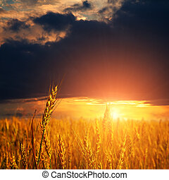 Campo con orejas de trigo maduras
