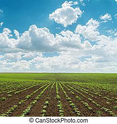 Campo de agricultura con pequeñas tomas verdes bajo el cielo nublado