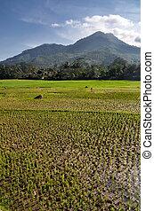 Campo de arroz de agricultura
