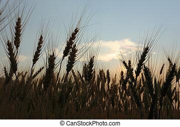 Campo de cebada de la agricultura rural