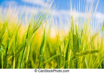 Campo de trigo. Agricultura