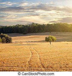 Campo de trigo al atardecer