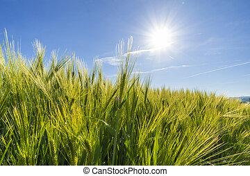 Campo de trigo de agricultura