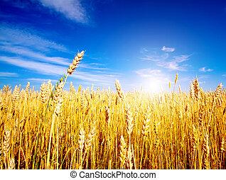 Campo de trigo dorado con cielo azul en el fondo