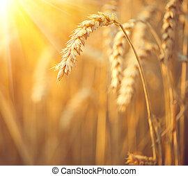 Campo de trigo dorado. Orejas de cerco de trigo. Un concepto de cosecha