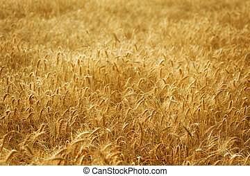 Campo de trigo dorado