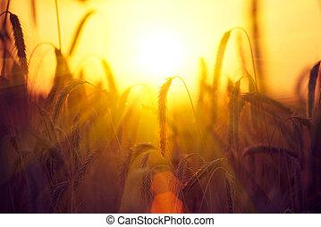 Campo de trigo dorado seco. Un concepto de cosecha