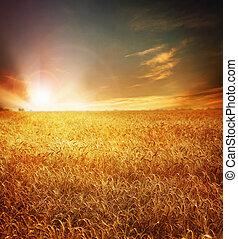 Campo de trigo dorado y atardecer