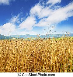 Campo de trigo dorado y cielo azul