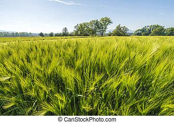 Campo de trigo fresco