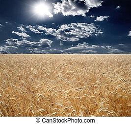 Campo de trigo, hermosa puesta de sol, nubes.