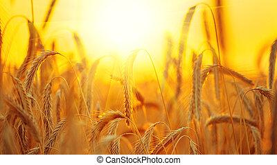 Campo de trigo. Orejas de un primer plano de trigo dorado. Un concepto de cosecha